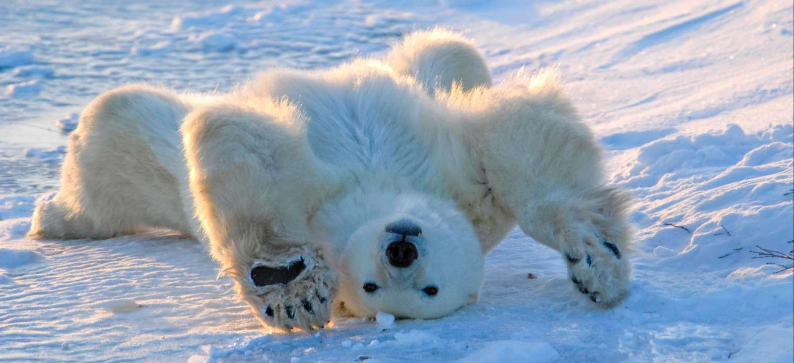 Voyage à la neige : Au royaume de l\'ours blanc