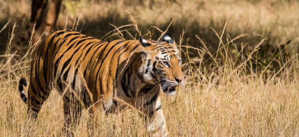 Balade en bulle : rencontre avec un tigre.