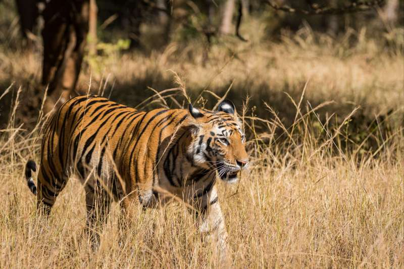 Image Tigres et temples : l'Inde sauvage !