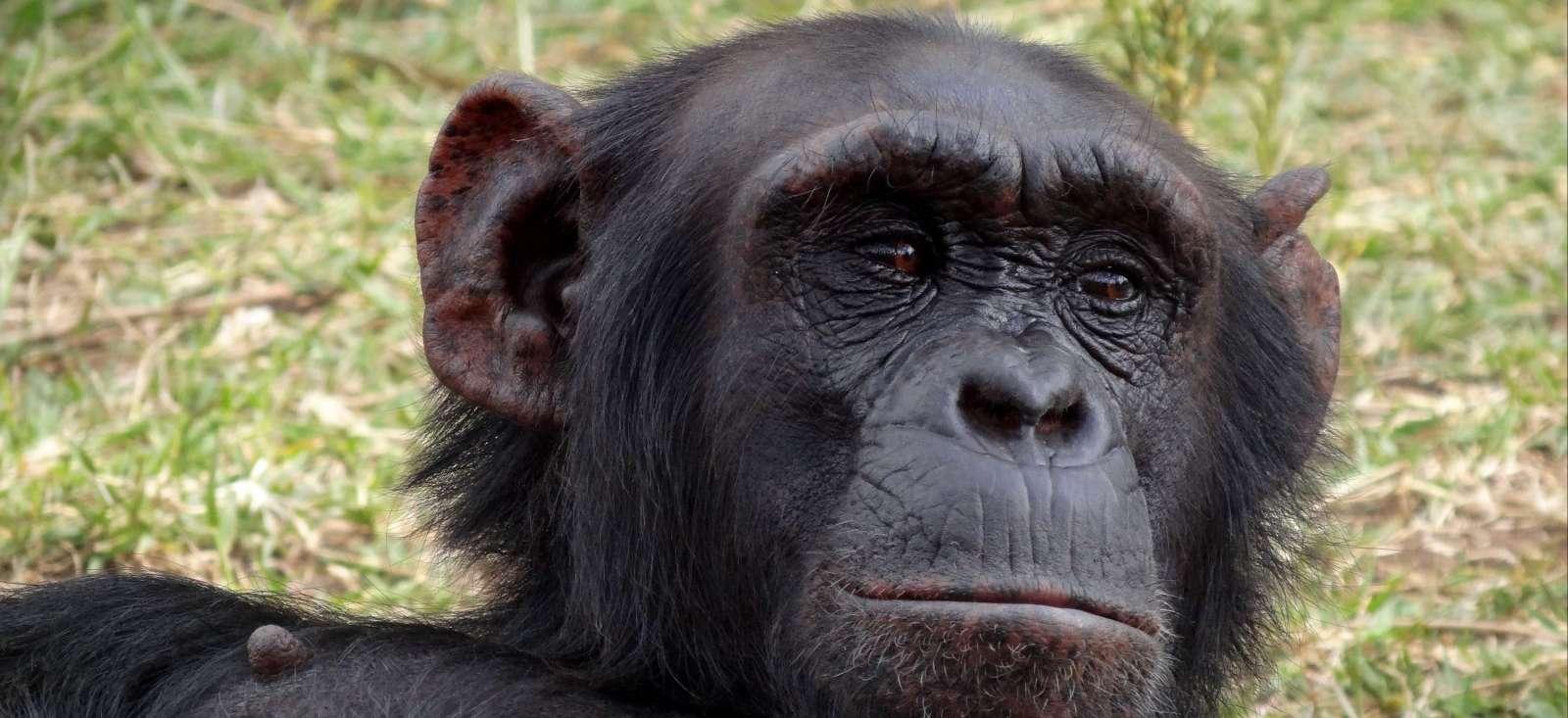 Voyage à pied : Daktari, Lions et Chimpanzés au Kenya