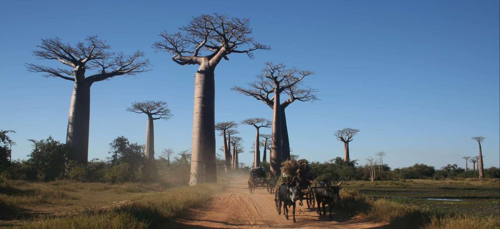 Voyage à pied : Baobabs, Tsingy et rencontres malgaches