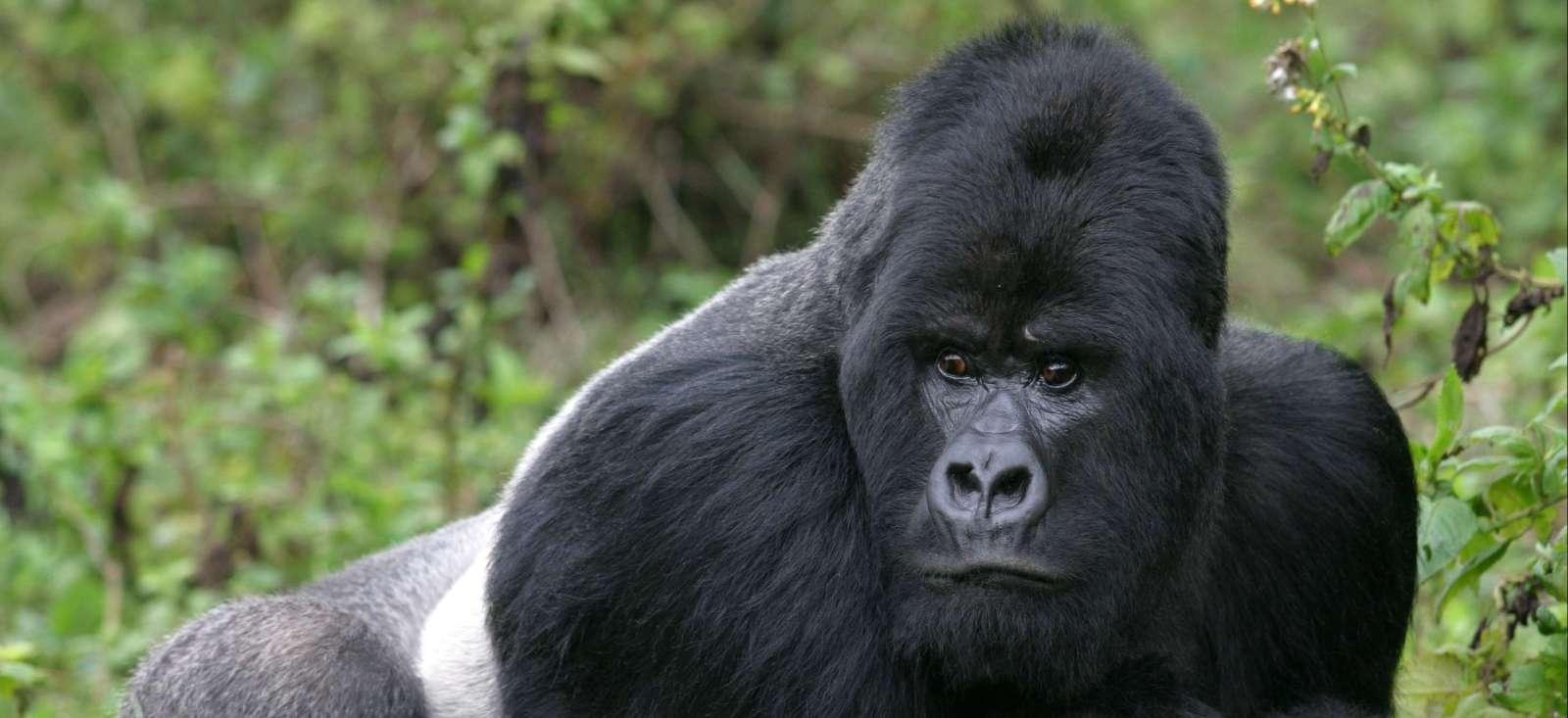 Voyage avec des animaux : Gorilles dans la brume !