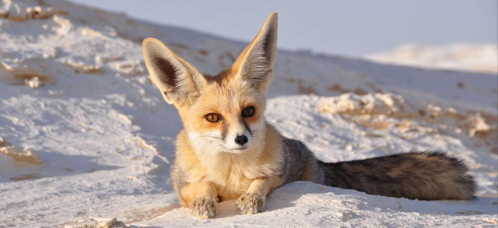 Voyage à pied Tunisie : Dessine moi un renard !